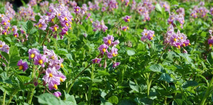 Цветочный венчик картофеля «Альвара» от маленького до среднего размера, красно-фиолетовой окраски