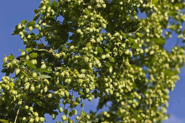 Дикорастущий неподконтрольный хмель уничтожает своим присутствием практически все виды культурных растений