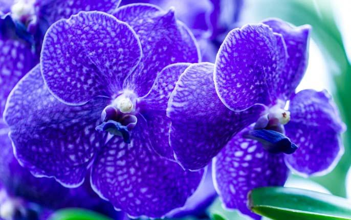 В природе ярким представителем синих орхидей является разновидность Ванда