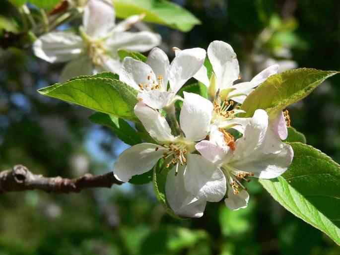 Цветение яблони сорта «Флорина» достаточно продолжительное