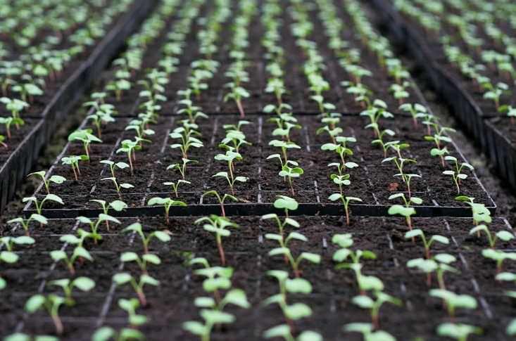 Первые ростки арбузного редиса появляются уже через два или три дня после посадки