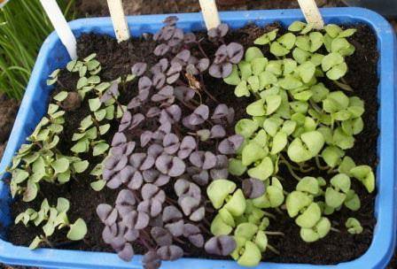 Почва для выращивания базилика: подготовка и удобрение