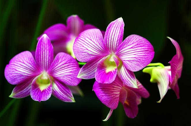 Здоровая орхидея начинает цветение своевременно