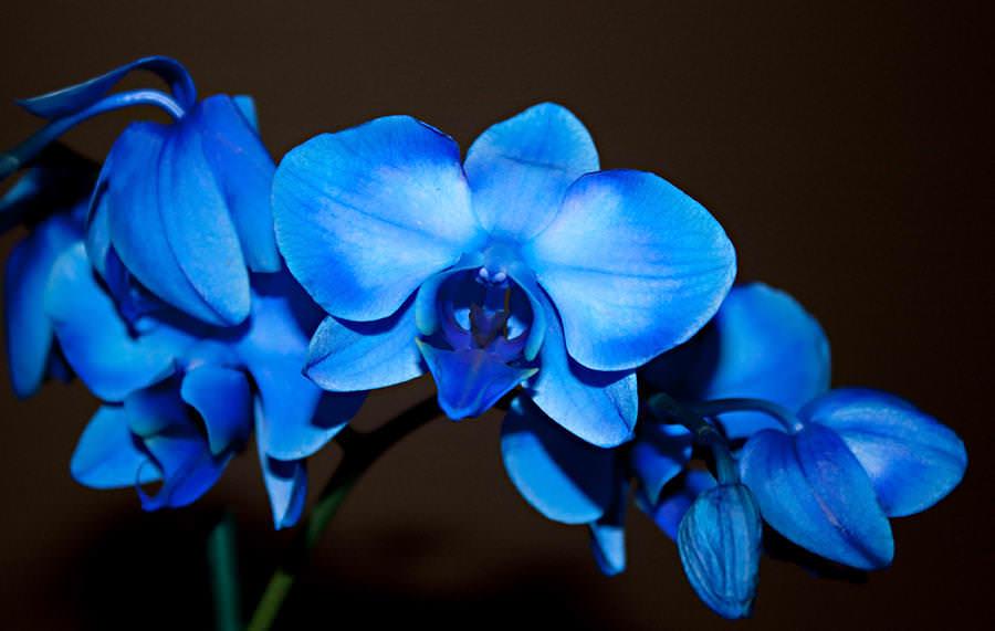 Благородство и роскошь синих орхидей