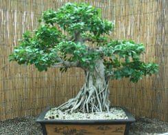 Фикусы могут быть лианами, деревьями, кустарниками