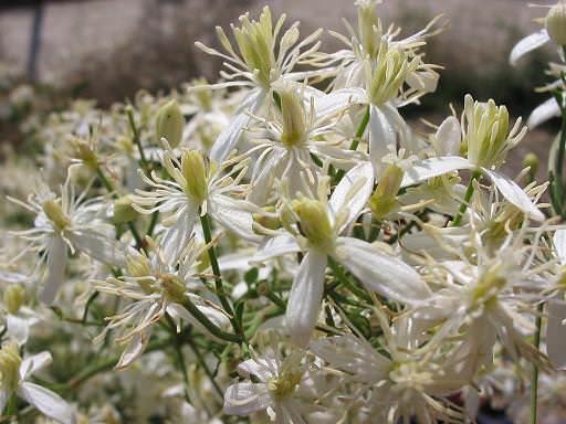 Клематис жгучий белый: правила выращивания и варианты использования