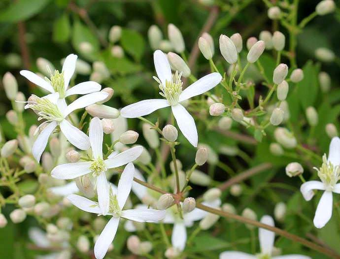 Для клематисов выбирают хорошо освещенное и безветренное место, т.к. ветер ломает, побеги и повреждает цветы
