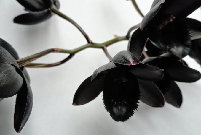 Когда цветонос появляется, растение выглядит просто шикарно и способно украсить любую фотографию