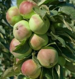Колоновидные яблони станут идеальным вариантом для участков