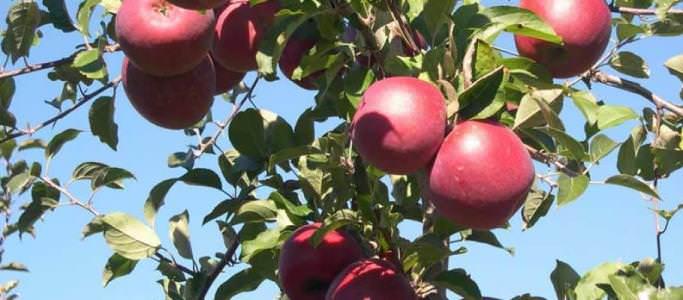 Экзотический сорт яблок получен японцами скрещиванием сортов «Роллс Дженет» и «Ред Делишес»