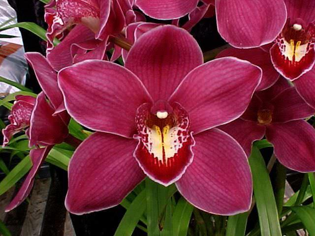 Комнатная орхидея вида «Цимбидиум» отличается неприхотливостью и прекрасно подходит для начинающих цветоводов