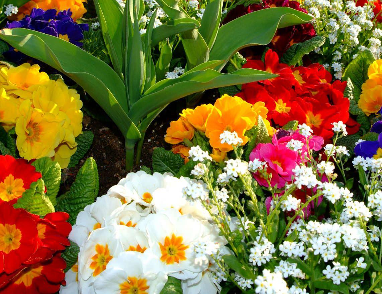 Примулы, отличающиеся ранним цветением, эффектно смотрятся в посадках с другими весенними растениями