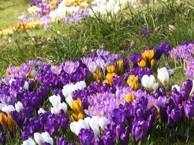Первоцветы украсят любой сад