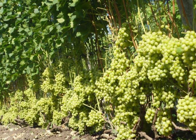 Кусты винограда «Настя» отличаются средней, но чаще сильной рослостью