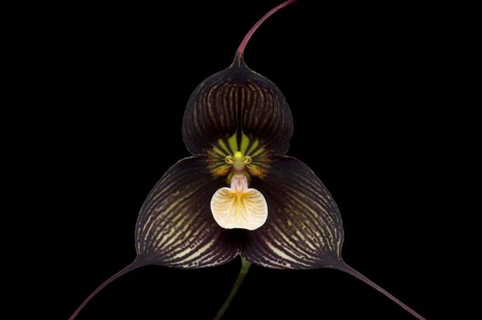 Популярный в нашей стране сорт орхидеи «Dracula roezlii»