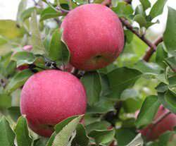 Яблоки сорта «Фуджи» вкусные, яркие и ароматные и очень полезные