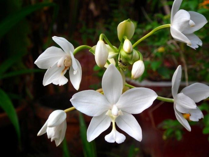 Как правило, в чистом виде орхидея встречается крайне редко