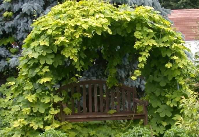 Хозяева усадьбы собственноручно высаживают на своем участке хмель для формирования зеленых арок