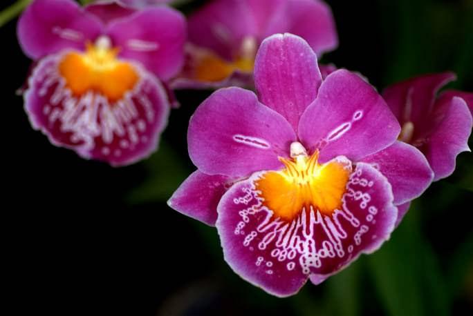 Орхидея Мильтония встречается в цветочных центрах нашей страны крайне редко