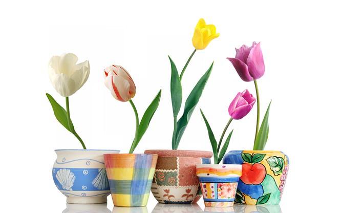 Многие цветоводы научились выращивать тюльпаны в домашних условиях зимой, используя обычные цветочные горшки