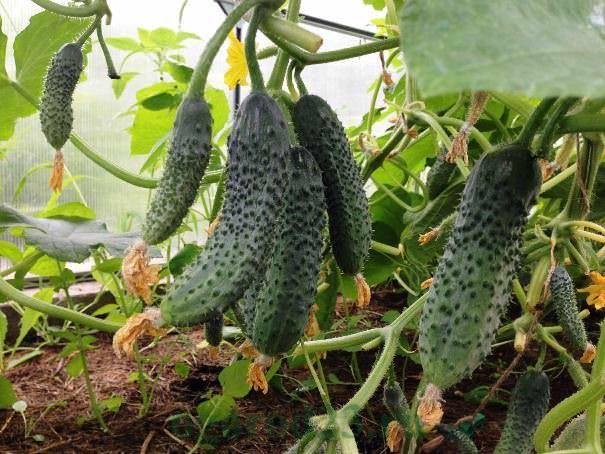 кураж огурцы выращивание в теплице