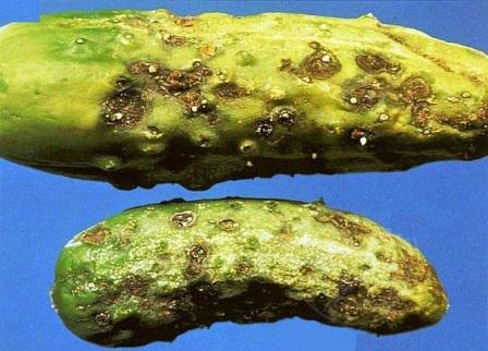 Кладоспориоз огурца — заболевание растения, которое поражает плоды