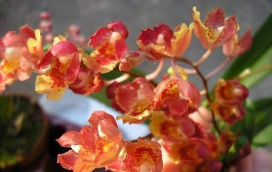 Особенности выращивания мини-орхидеи