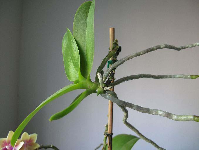 Отделять и рассаживать можно только качественные отростки, имеющие листочки и корневую систему
