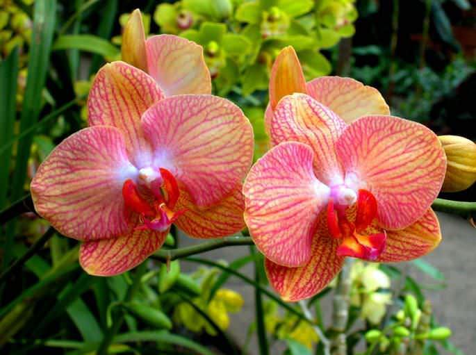 Фаленопсис является наиболее неприхотливым растением из орхидей, которые выращиваются в условиях комнатного цветоводства