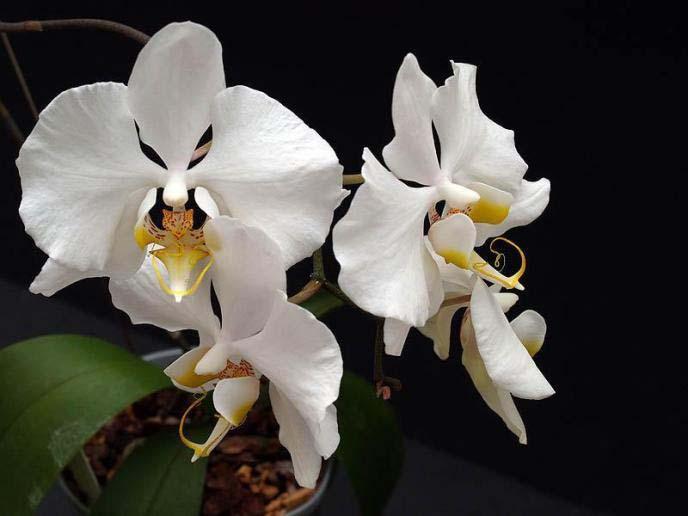 Цветы amabilis обладают наиболее сильным и приятным ароматом, который выделяет их на фоне остальных растений этого рода