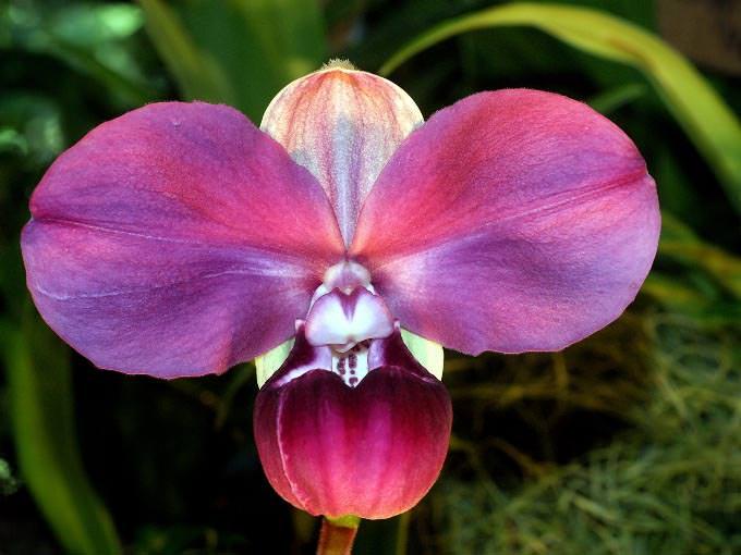 К категории самых необычных орхидей относится сорт «Перуанская орхидея»