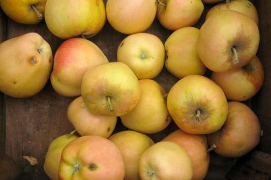 Выдержанные плоды «Розовый жемчуг» характеризуются более длительными сроками хранения