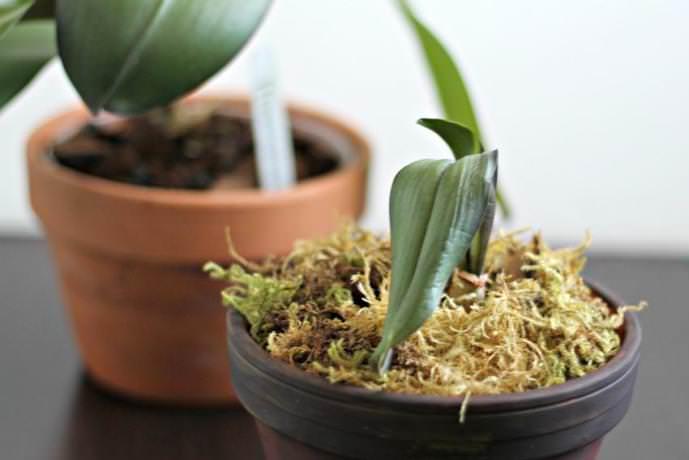 Пересадить комнатную орхидею можно несколькими способами