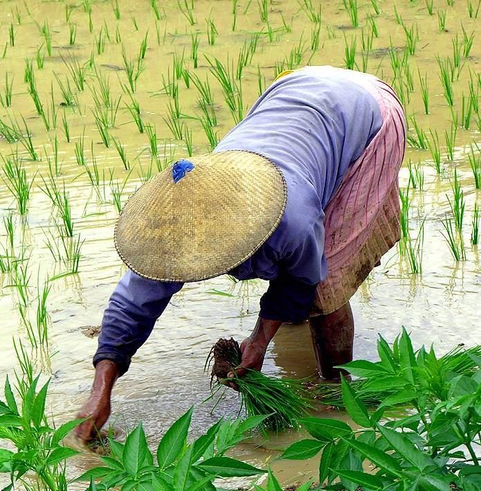 В странах Азии рис высаживают вручную