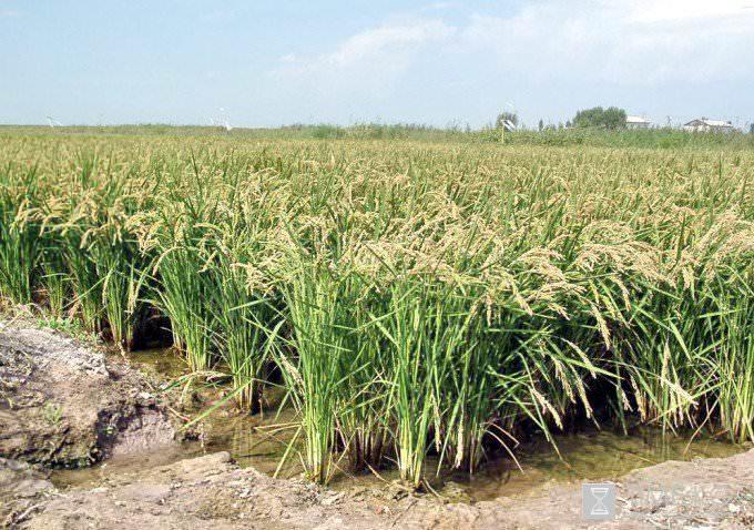 По внешнему виду рис напоминает камыш