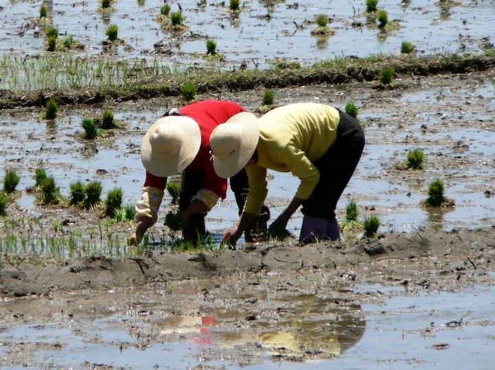 Для того чтобы вырастить 1 килограмм риса, требуется около 5 тысяч литров воды