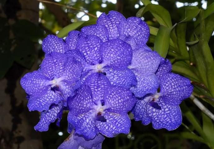 Уход за орхидеей, неважно, синие у нее лепестки или нет, должен осуществляться по стандартным правилам – своевременное опрыскивание, достаточное освещение и оптимальная температура