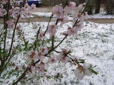 Несмотря на кажущееся устойчивое тепло, садовые насаждения часто травмируются от заморозков