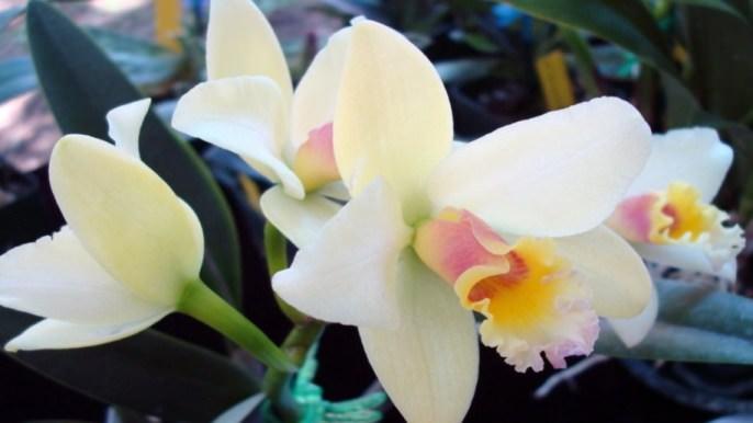 Описание и особенности выращивания белой орхидеи