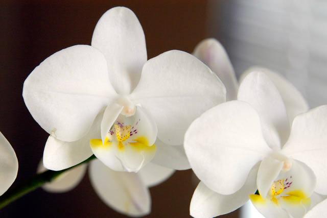 Наиболее часто выращиваются в домашних условиях белые орхидеи вида «Фаленопсис»