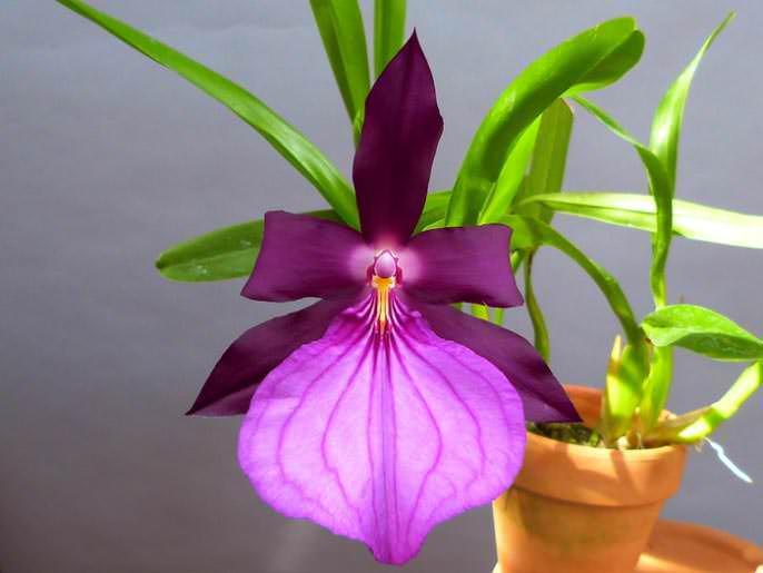 Блистательная «Мильтония» – универсальный вариант цветка, легко выдерживает не только высокие температуры, но и достаточно низкие для орхидных