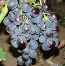 Виноград Рошфор: селекция, описание, особенности сорта, посадка и уход, достоинства, отзывы