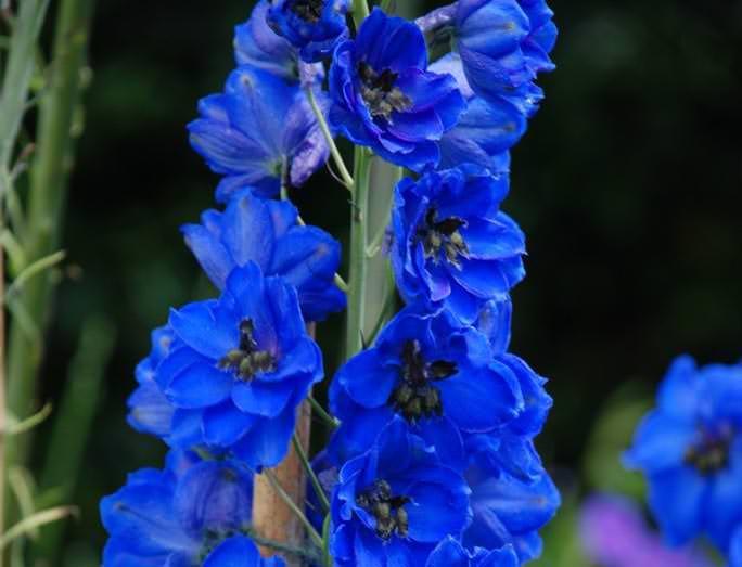 Виды, входящие в группу «Белладонна», – губоцветный и крупноцветковый