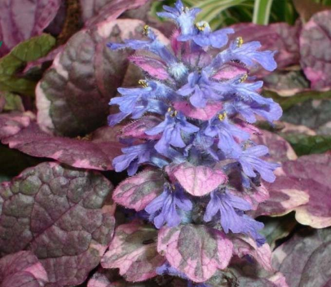 Живучка Бургунди Глоу – окраску листа этого сорта невозможно найти ни у какого другого растения