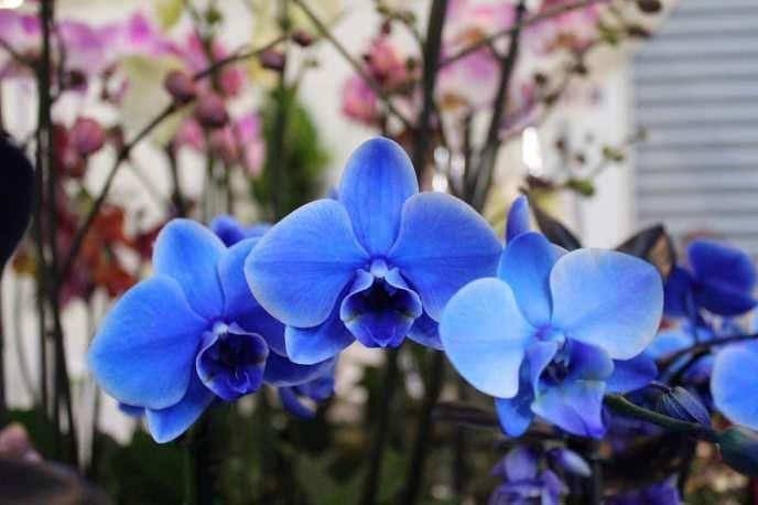 Сорт «Роял Блю» цветёт два или три раза в год, в зависимости от того, сколько питательных веществ накоплено растением и как осуществляется уход за растением