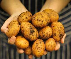 Картофель «Уладар» раннеспелый