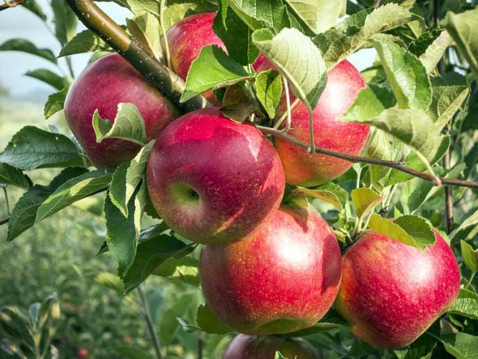 Зеленовато-желтые плоды с малиновыми полосками и румянцем яблони «Беркутовское» не имеют воскового налета