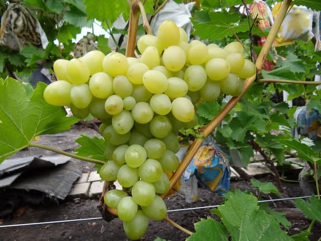 Ягоды винограда «Настя» имеют ярко выраженную яйцевидную форму