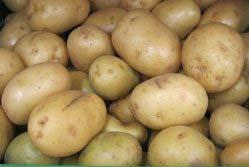 Картофель «Агата» из Голландии относится к ранним сортам