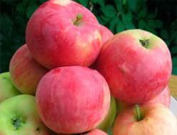 Яблоня «Мантет» является популярным летним сортом